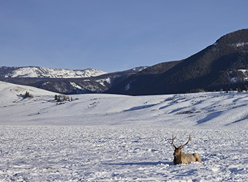 24 x 36 Giclee Print of A Bull elk Relaxes in The Snow Though not far from his Herd of Hundreds at The U.S. Fish & Wildlife Service's elk Refuge in Jackson Hole Wyoming a Valley on The Edge of Gra