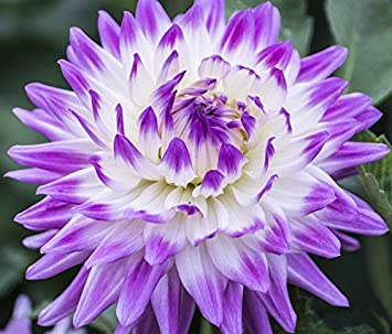 Etsynet rare beautiful purple dahlia seeds beautiful perennial etsynet rare beautiful purple dahlia seeds beautiful perennial flowers seeds dahlia bonsai perennial plant 100 pcs mightylinksfo