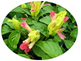 FRUIT COCKTAIL Live Tropical Perennial Plant Unusual Shrimp Shaped Flowers Attract Butterfly Hummingbirds Starter Size 4 Inch Pot Emerald TM