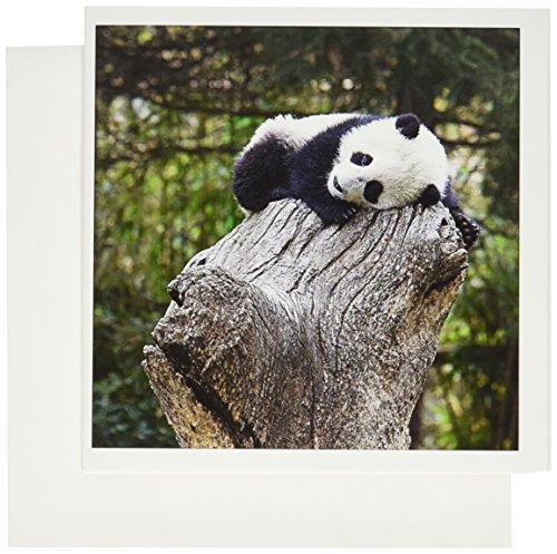 Wolong Panda Reserve China - 3dRose China, Wolong Reserve, Baby panda bear on stump - AS07 AGA0010 - Alice Garland - Greeting Cards, 6 x 6 inches, set of 6 (gc_132355_1)