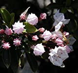 "Elf Dwarf Mountain Laurel - Kalmia - Very Hardy - 2.5"" Pot"