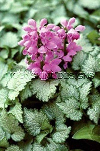 Orchid Frost Lamium 3 POTS Ground Cover Sun ()