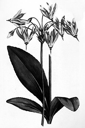 American Cowslip 1787 Namerican Cowslip Or MeadS Dodecatheon Copper Engraving By James Sowerby From William Curtis Botanical Magazine London 1787 Poster Print by (18 x 24)