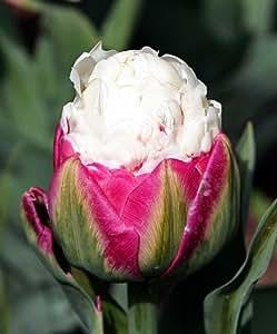 rare 39 ice cream 39 tulip 10 bulbs vanilla. Black Bedroom Furniture Sets. Home Design Ideas