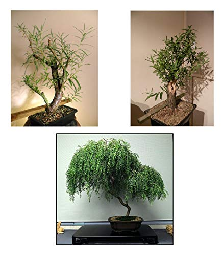 Bonsai Willow Tree Bundle - 1 Each of Dwarf Weeping, White, Black Willow Tree Cuttings - Large Thick Trunks - Live Indoor Outdoor Bonsai Trees -