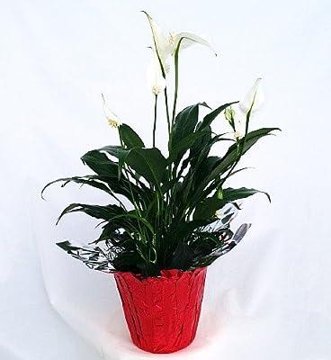 """Hirt's Peace Lily Plant - Spathyphyllium - 4"""" Pot/Decorative Pot Cover"""