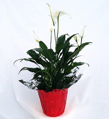 Hirt's Peace Lily Plant - Spathyphyllium - 4