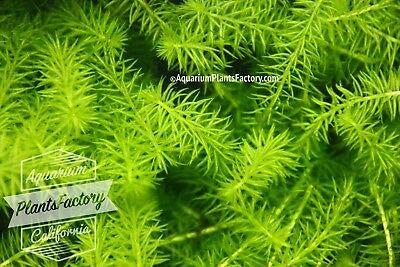 3X Mayaca Fluviatilis Bunch Live Green Bog Moss Fresh Aquarium Plants Factory by SS0156
