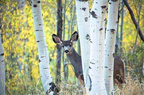 Wildlife Photography Wall Art Print - Picture of Young Mule Deer Hiding Behind Aspen Trees on Autumn Day at Maroon Bells in Western Colorado Animal Decor 5x7 to 40x60