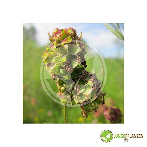 Kräutersamen - Gartenpimpinelle /Kleiner Wiesenkopf / Sanguisorba minor 30 Samen