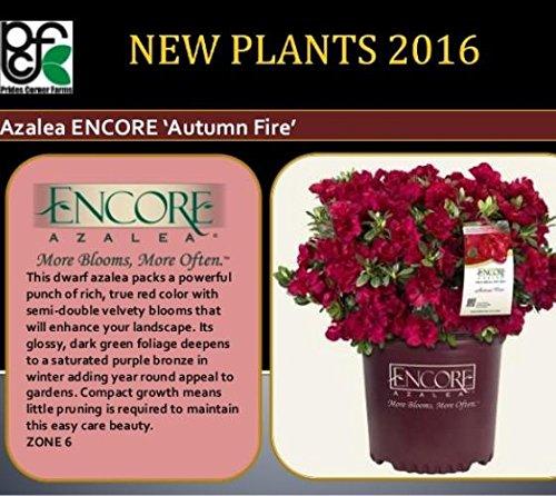Autumn Fire Encore Azalea - Live Plant - Full Gallon Pot