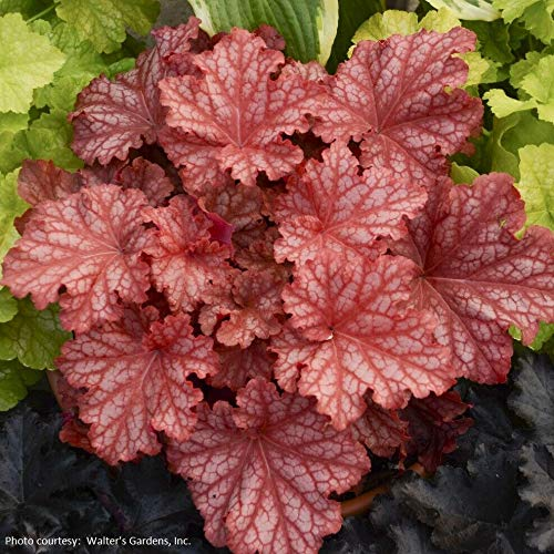 Details About heuchera Primo PEACHBERRY ICE New Coral Bells 2.5