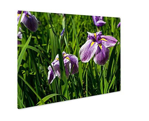 Ashley Giclee Metal Panel Print, Purple Siberian Iris Flowers in Boom at Japanese Garden Closeup in Late Spring, 8x10, (Iris Metal Garden)
