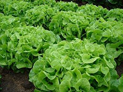 Green Oak Leaf (Oakleaf) Heirloom Lettuce Seeds- 1,000+ Seeds