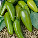 """Go Garden 10 - Seeds: Jalapeno""""M"""" Pepper - Hot & Spicey!! Very Heavy Yeilds!!!! Free Shipping!!!!"""