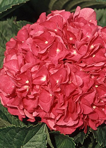 Mop Head Hydrangea - 1 Gallon - Merritts Supreme Pink Hydrangea(macrophylla) - Mop-head Blooming Shrub - Live Plants