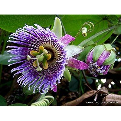 10 Seeds Passiflora LIGULARIS Sweet Granadilla grenadilla passionfruit Flowering : Garden & Outdoor