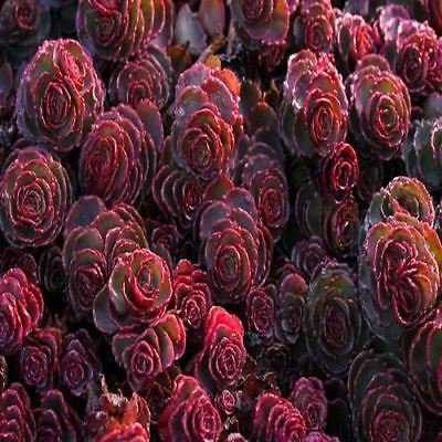 Sedum Dragons Blood Succulent Seeds (Spurium Coccineum) 100+Seeds