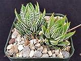 Haworthia reinwardtii Cactus Cacti Real Live Succulent Plant