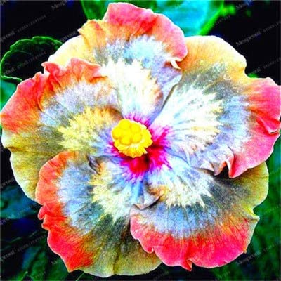 MAYAGREEN 200 pcs 24 Colors Bonsai Hibiscus Flower Hardy,Mix Color, DIY Home Garden Potted Flower Plant,Bonsai Flower Easy Grow 9(Seeds Only)