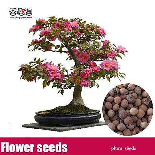 - 5 pcs Beautiful Plum Blossom Prunus mume Seeds Ornamental Chinese Plum Tree Seed