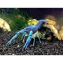 "Polar Bear's Pet Shop 3X Live Electric Blue Lobster - Aquarium Crayfish Crawfish - 2""-3"" Breeding Set"