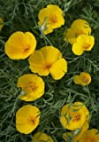 TROPICA - Kalifornischer Goldmohn ( Eschscholzia californica )-200 Samen