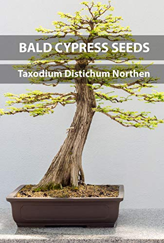 Bald Cypress Bonsai Seeds Taxodium distichum Northern, Crop Year 2016, Purity 92% Germination 91%, Collection Locale Arkansas, 20/25 Pure Seeds per Packet! (Cypress Bald Bonsai)