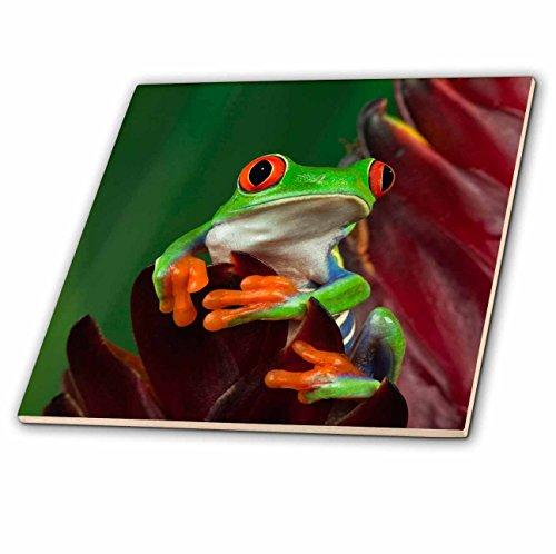 (3dRose ct_83655_2 Redeyed Tree Frog 'Agalychnis Callidryas' NA02 AJE0387 Adam Jones Ceramic Tile, 6-Inch)