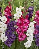 Van Zyverden Gladiolus - Tropical Passion Blend - Set of 25 Bulbs, White, Blue, Pink