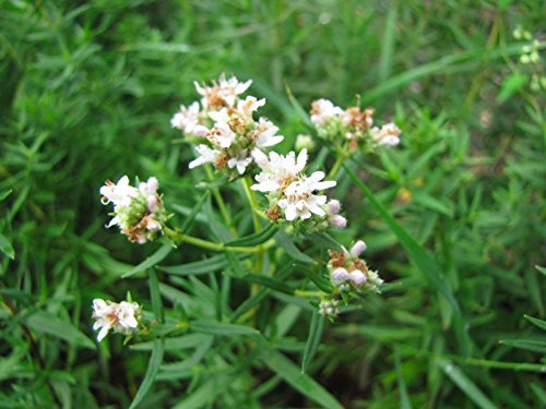 625 Mint - mint, MOUNTAIN MINT WILD, herb, shade or sun 625 seeds! GroCo