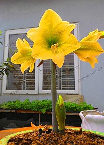 Big Sale!1 pcs/lot, Mixed Color,Amaryllis Bulbs, hippeastrum Bulbs, 3-6 cm in Diameter, 100% Sprouting Seeds plantpi2 (Amaryllis Bulbs Bulk)