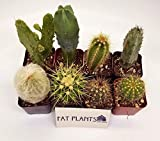 Fat Plants San Diego Pack of Assorted Cacti Plants in 2 inch Pots (8)