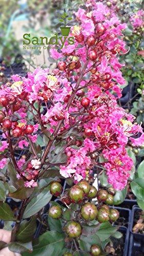 Sandys Nursery Online Crape Myrtle 'Pink Velour' Tree 4 inch pot