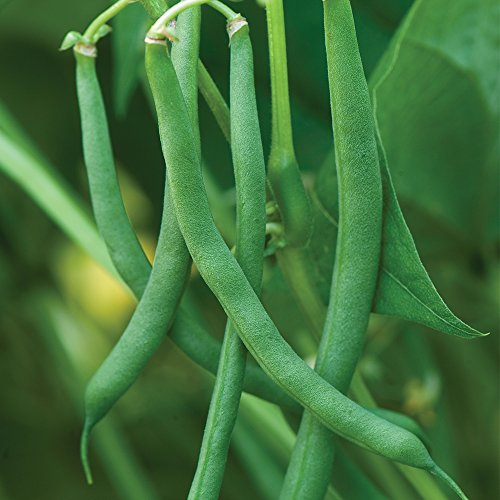 - Burpee Blue Lake 47 Bush Bean Seeds 8 ounces of seed