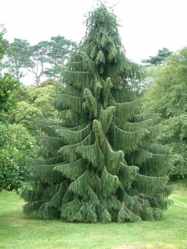 Live Christmas Trees - HIMALAYAN SPRUCE TREE12-14 IN EVERGREEN CHRISTMAS TREE LIVE PLANTS SEEDLINGS