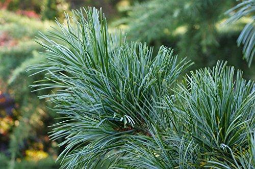 morris-blue-dwarf-korean-pine-a-source-of-pine-nuts-2-year-plant