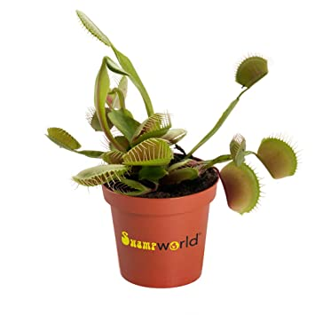 BOTANICLY | Planta de lodo - Swampworld planta carnívora ...
