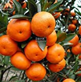 New Orange Mandarin Citrus Fruit 20+ Seeds