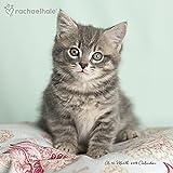 2018 Rachael Hale Cats Wall Calendar (Mead)
