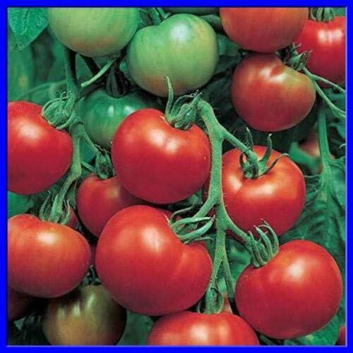 Super Sioux Tomato 19+ Seeds zKE-471 (Super Sioux Tomato)
