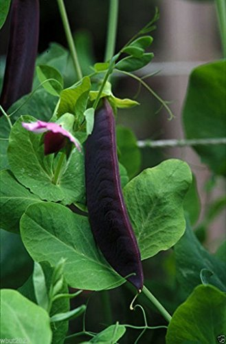 - Snow Pea Seeds, Purple Pods (500 Seed) Non hybrid ,Seed Can save and grow again