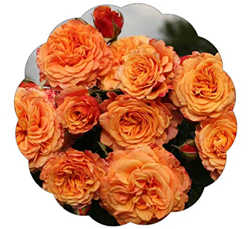 Stargazer Perennials Crazy Love Rose Plant Potted Reblooming Sunbelt Rose - Double Apricot Orange Flowers - Heat Resistant