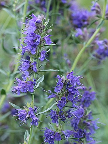 Blue Hyssop garden border herb plant blue flowers summer loved by bees 9cm pot FREE DELIVERY