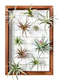 Mkono Large Air Plant Frame Hanging Airplant Holder Tillandsia Display Hanger Wooden Shelf Wall Decor for House Plants, Succulent, 16-Inch