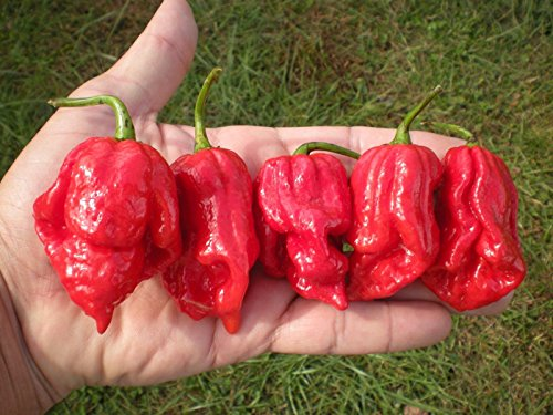 (1000) BHUTLAH SCORPION Hot Pepper Seeds by MW061