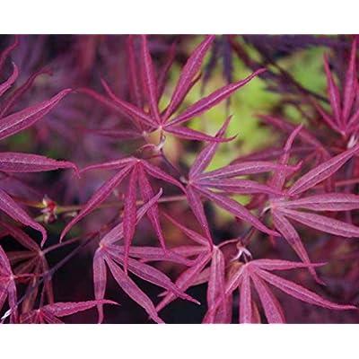 Beni Ubi Gohon Japanese Maple 1 - Year Plant : Garden & Outdoor