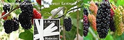White Mulberry & Sweet Lavender Mulberry & Red Mulberry Seeds (Organic) 180 Seeds Upc 646263362945 + 3 Plant Markers