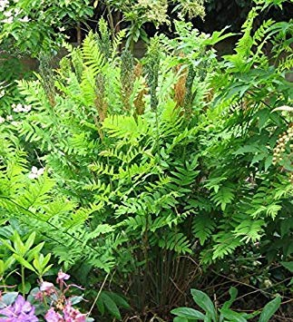 Shop Meeko Osmunda regalis Purpurescens- púrpura Royalplant ...