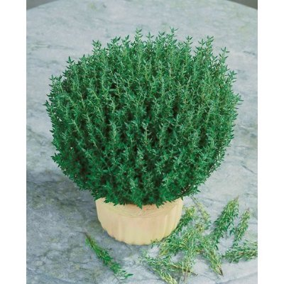 Seeds and Things Fresh Thyme Seeds - (Thymus Vulgaris) - 200+ Gardening Seeds - for Your Herb Garden